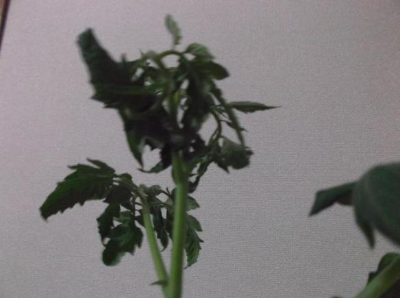 cherrytomato-snapshot02