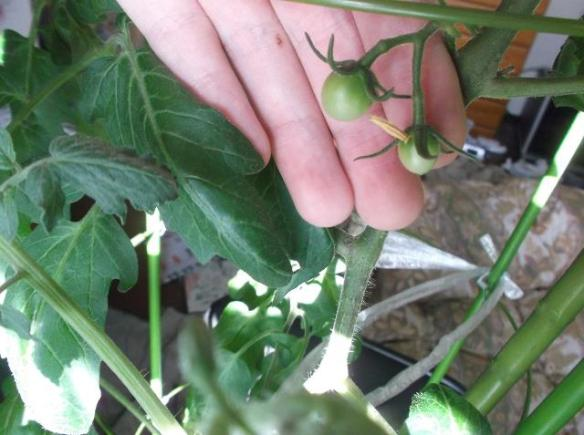 growing_cherry_tomatoes
